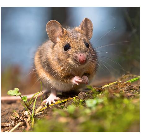 איך ללכוד עכבר